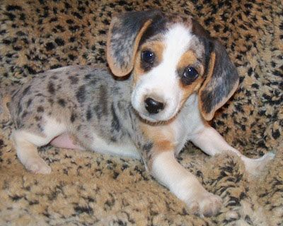 This puppy is in the silver harlequin pattern - distinctive to a Queen Elizabeth Pocket Beagle.
