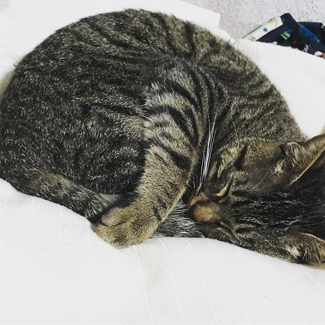 朝から元気に脱走を果たしたとらちゃんですが、帰宅したら布団で呑気にお昼寝しておりました。このやろう… #猫日記 #トラ柄猫 #愛猫 #お転婆娘 #可愛い #目に入れても痛くない