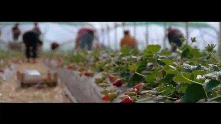 Poesia dei campi di fragola Candonga. #fragola_candonga #strawberry #italy #campi_di_fragole #metapontino #basilicata #italia
