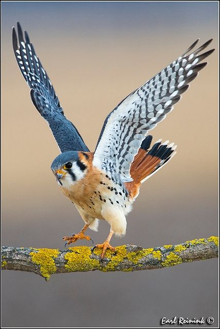 American Kestrel✖️More Pins Like This of At FOSTERGINGER @ Pinterest✖️
