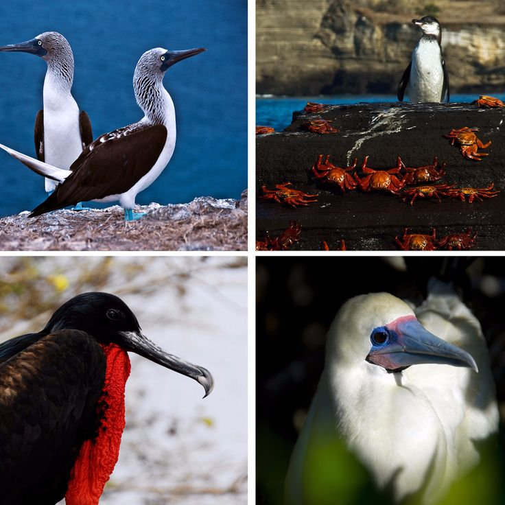 There are about 60 species of resident (birds that breed in the Islands) Galapagos birds, and about half of those are endemic (breeding only in the Galapagos) to the Galapagos.  Galapagos Birds List: 94 Birds to Watch for | Latin Roots Travel (Ecuador)