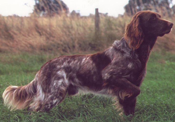 UK Breed Standard | German Longhaired Pointer Association