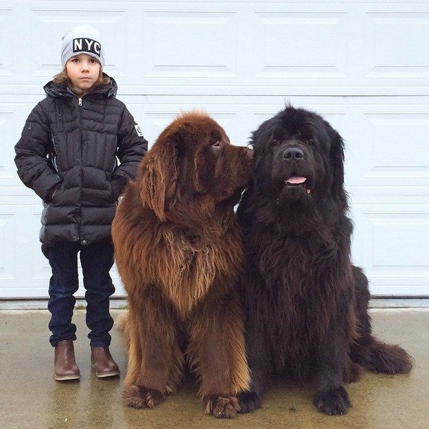They're the biggest, furriest, most bear-like best friends. | These Really Big Dogs And Their Tiny Human Friend Are Totally Adorable