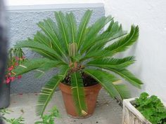 How To Care For Sago Palms