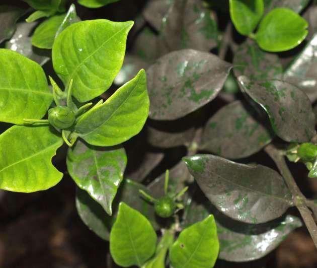15 Fantastic Gardenia Diseases Pictures Collectiongardenia Bush