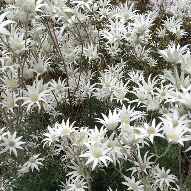 Fabulous Furry Flannel flowers. Actinotus helianthi #flannelflower #actinotus #australianwildflowers