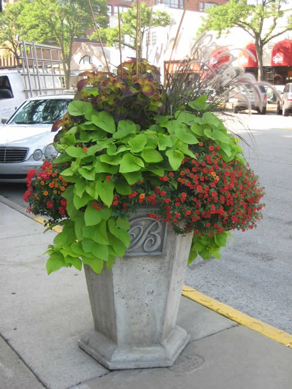 17 best images about sweet potato vine on pinterest for Garden arrangement of plants