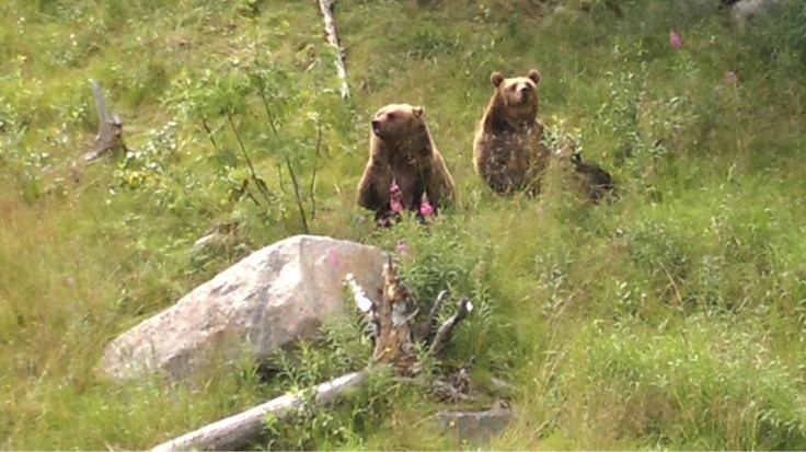 """""""Hey! We are here!"""" Brown bears of Ranua Zoo shadowed by the fuss about the polar bear baby (photo AN)"""