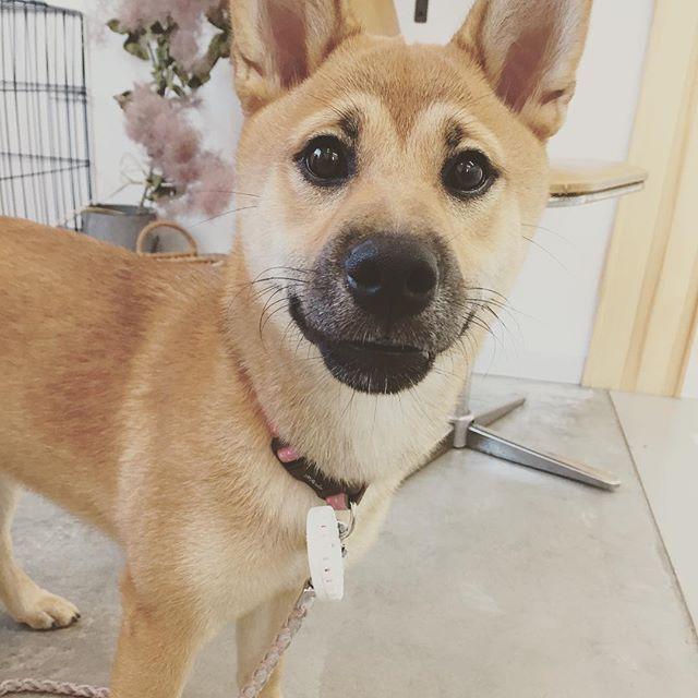 ニコちゃんが家から脱走。うちの庭にきて、一休のおもちゃで遊んどった(● ˃̶͈̀ロ˂̶͈́)੭ꠥ⁾⁾飼い主さんは裸足で駆けつけて、、、 あービックリした!!!そしてなんかうれし♡なにより無事でよかった。 #dog #dogstagram #dogdays #instadog #doglover #doglife #dogpark #犬 #愛犬 #わんこ #犬のいる暮らし #わんこのいる暮らし #犬バカ部#クロクマ舎#グルーミング#トリミング#明和町#松阪#伊勢#愛しのニコ様