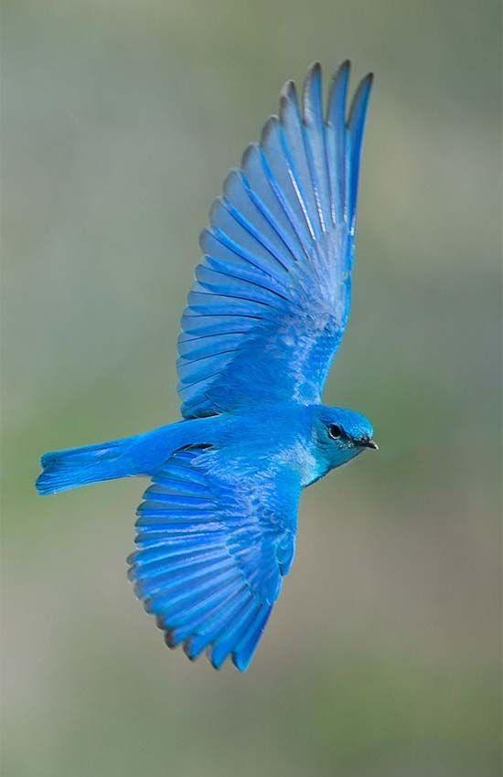 Mountain Bluebird - North West America