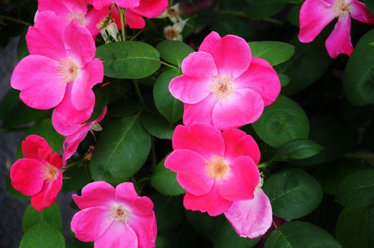 Rose Care 101 – Vintage gardening