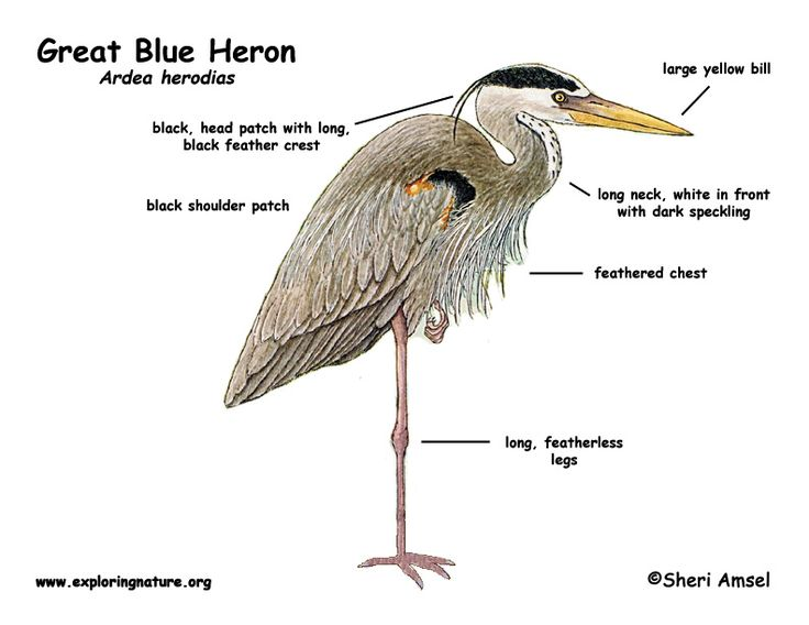 great blue heron coloring page - 1000 images about learn about animals on pinterest