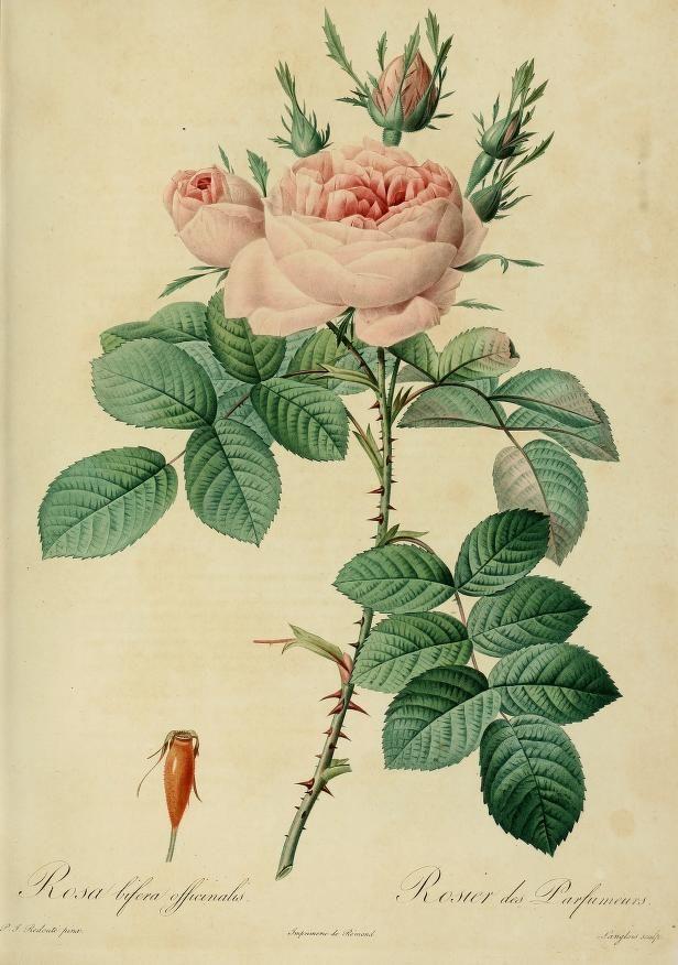 """""""Les Roses"""". Antique botanical rose illustration by Pierre-Joseph Redouté.                                                                                                                                                                                 More"""