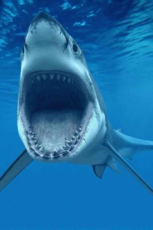 Deze foto ga ik gebruiken om te kijken hoe ik mijn getekende haai nog realistischer kan maken, omdat de haai er erg realistisch uitziet.
