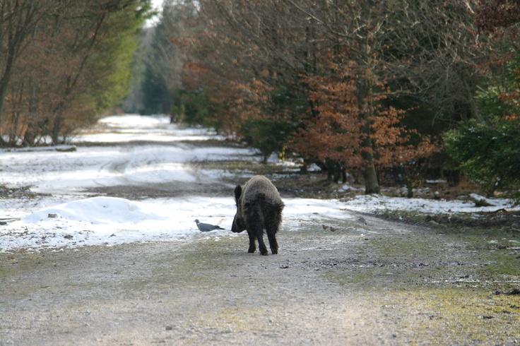 wildschwein trifft taube / wild boar meets pigeon