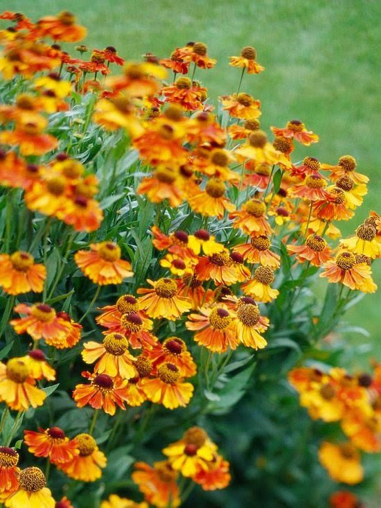 108 best images about rudbeckia on pinterest gardens in pictures and nancy dell 39 olio - Fall blooming flowers ...