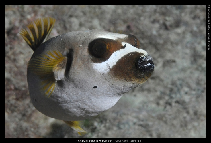 17 best images about fish pufferfish on pinterest fish for Aggressive saltwater fish