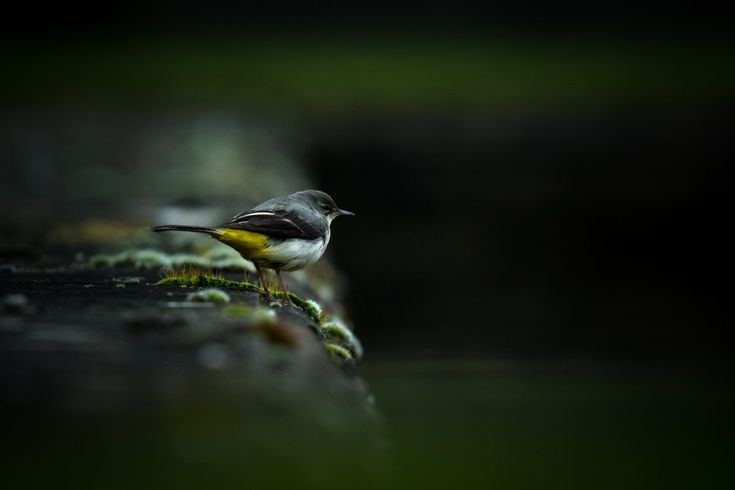 "Source: @benwallerphoto on Twitter. ""Despite some less than ideal lighting, I had a good giggle capturing this Grey Wagtail yesterday afternoon. #WexMondays #wildlife #oxfordshire #cotswolds"""