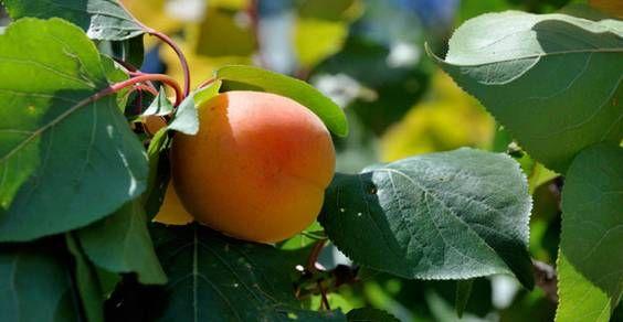5 alberi da frutto da coltivare a partire dal seme