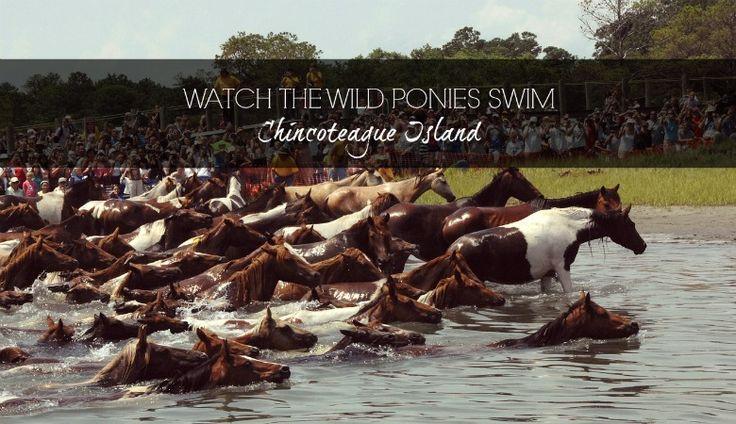 Bucket List // watch the wild ponies swim // Chincoteague Island
