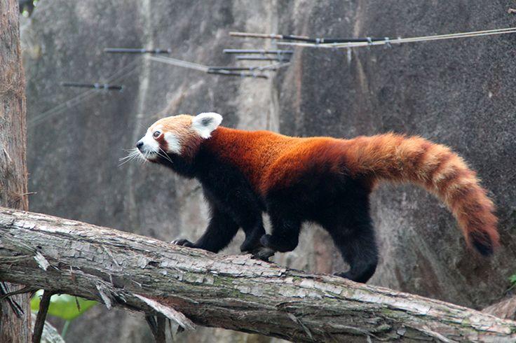 Toronga Zoo i Sydney - og bjerggeder med en god udsigt - Opdagelse.dk