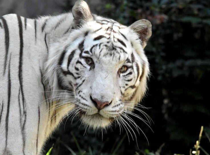 Superbe tigre blanc du Bengal posant pour le photographe, dans son enclos du zoo de Rome (Italie)