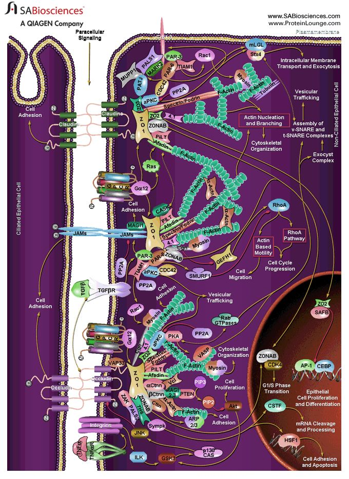 Pathway Central: Epithelial Tight Junctions