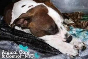 A homeless man's dog is recovering after NYPD shot him.