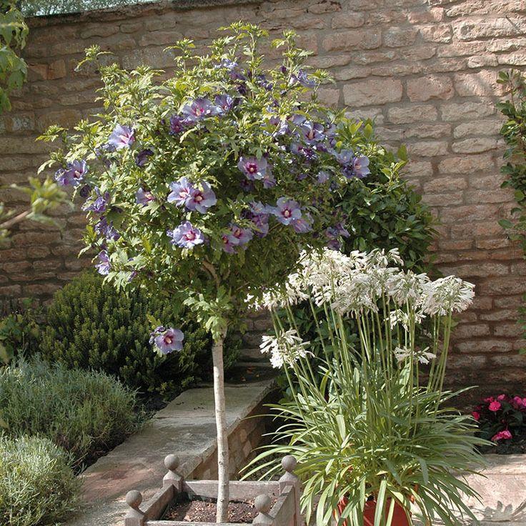 Standard Hibiscus Tree 'Marina Blue' 90cm Tall in a 3L Pot | eBay