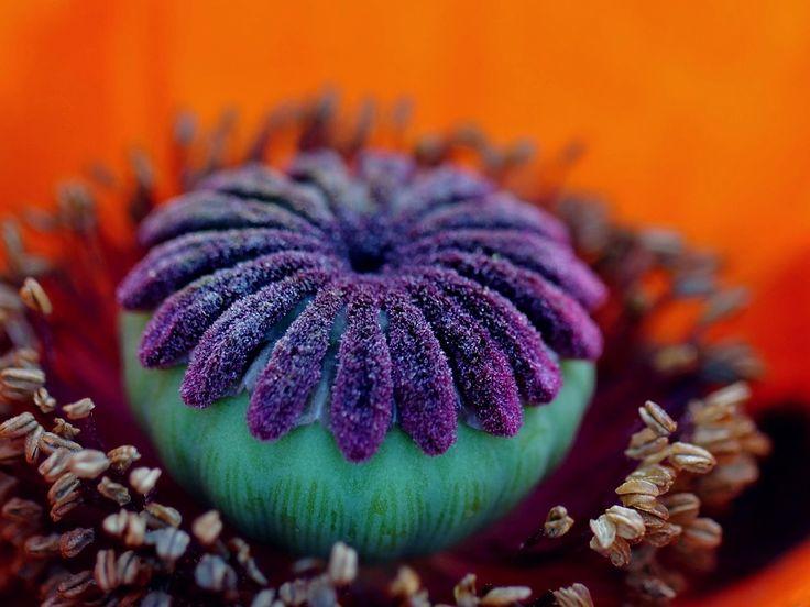 Poppy Flower, Blossom, Bloom, Macro, Garden, Flowers