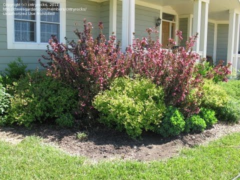 weigela wine and roses - weigela wine and roses bloom time - weigela win...