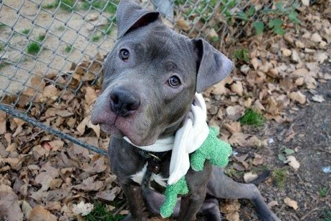 SPIKE - A1097568 - - Manhattan  Please Share:TO BE DESTROYED 11/30/16 **ON PUBLIC LIST** A volunteer writes: I believe in love at first sight, and that's how it was with me and Spike. What a great dog! Quietly waiting in his kennel, his soft face and expressive eyes were all it took…he's gorgeous with a capital GORGEOUS with a sweet, gentle personality to match. His leash manners are great, he quickly takes care of his business the moment we're out t