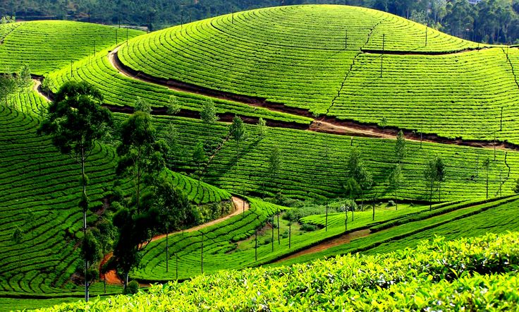 Kodaikanal tea plantations in. Tamil Nadu India. If you love tea, this is a great place to visit.