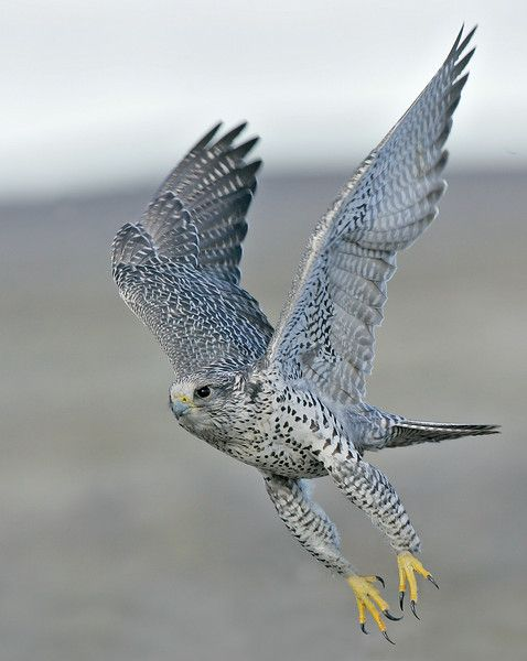 17 Best images about Gyrfalcons on Pinterest | The birds ...