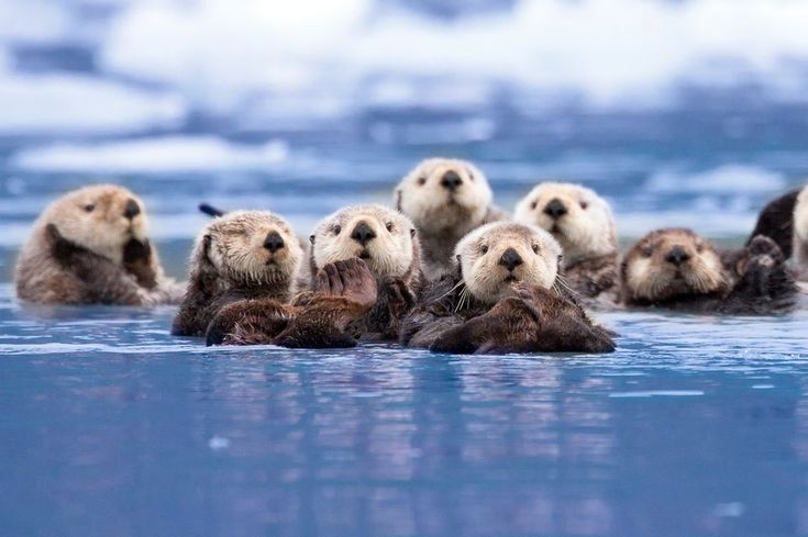 Sea Otters, Sea Otter Pictures, Sea Otter Facts - National Geographic