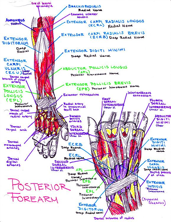 Posterior Forearm - anatomy study guide | Med School study guides ...