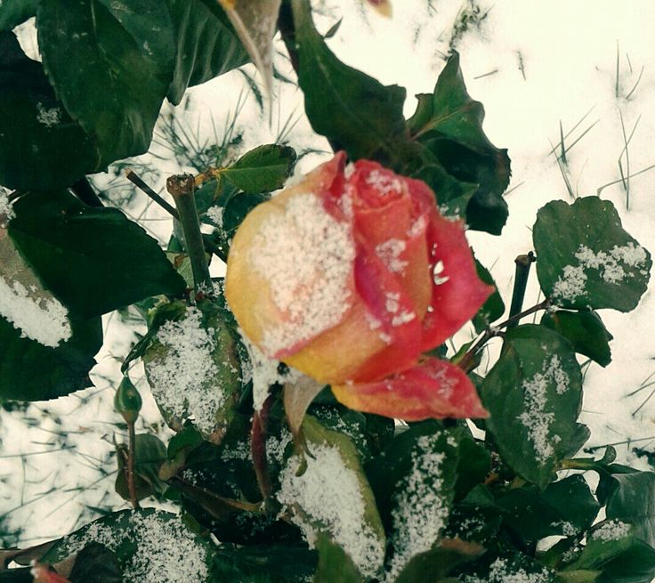 #flowers #winter #snow #kış #kar #çiçek