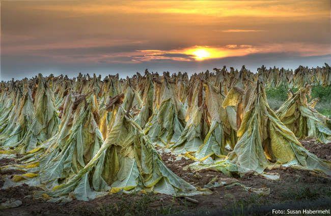 Kata tembakau berasal dari kata tobacco (Bahasa Inggris) yang berasal dari kata tabaco (Bahasa Sanyol) yang berarti sebuah pipa untuk merokok tembakau. Meski memiliki catatan sejarah penemuan yang variatif, namun sebagian besar pihak meyakini bahwa tembakau pertama kali ditemukan di wilayah Amerika bagian Utara dan Selatan, sejak tahun 6000 SM. Sebelum Christopher Colombus menemukan benua Amerika, tembakau sebenarnya sudah ada di wilayah itu dan dikonsumsi oleh suku Indian