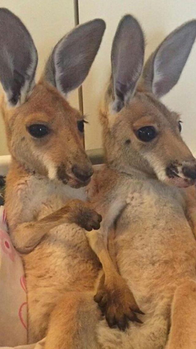 Adorable Kangaroos