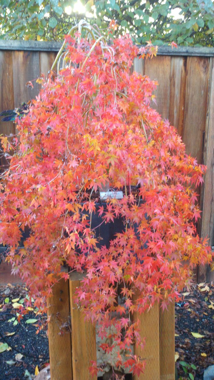 How to care for a fern leaf japanese maple - Ryusen Pp This Is A Green Leaf Palmate Leaf Japanese Maple That Cascades Here She Is In Her Autumn Glory Beautiful Orange Red And Yellow Colors