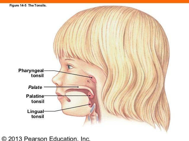 2013 Pearson Education, Inc. Pharyngeal tonsil Palate Palatine tonsil Lingual tonsil Figure 14-5 The Tonsils.
