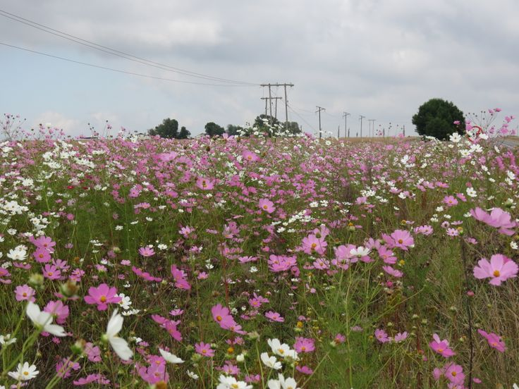 Beauty on the side of the road.  Cosmos!