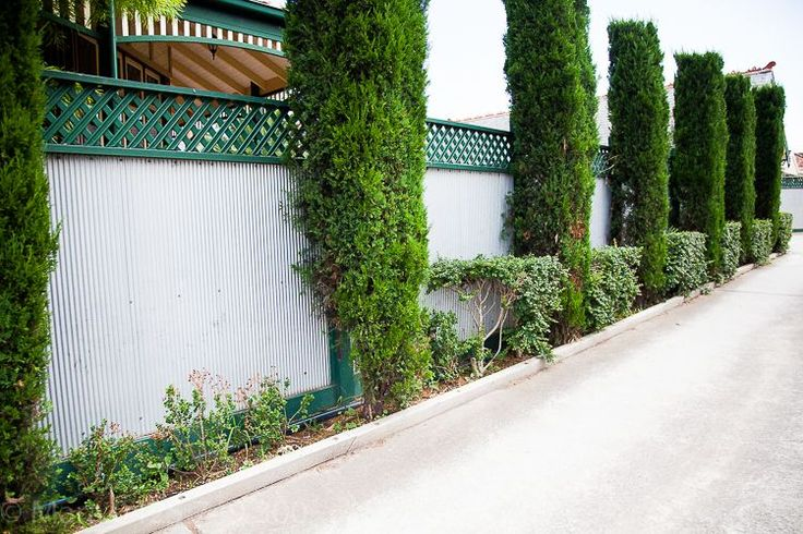 A grey fence is softened with Pencil Pines.