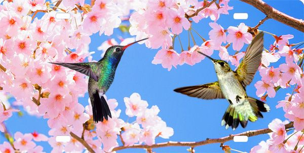 17 Best Images About Cherry Blossoms And Humming Birds On