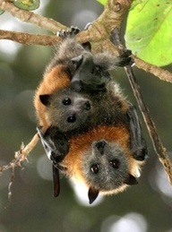 Fruit bats need to be with their own.