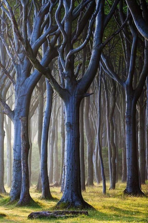 Der Zauberwald aus Buchen im Ostseebad Nienhagen im Landkreis Rostock in Mecklenburg-Vorpommern. Germany. Forest Light in the mystical, enchanted wood.