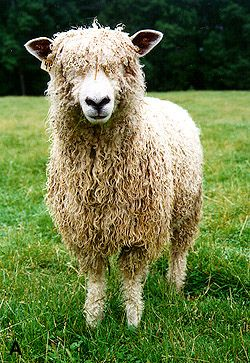 COTSWOLD, By yarnzombie. A Cotswold sheep. England.