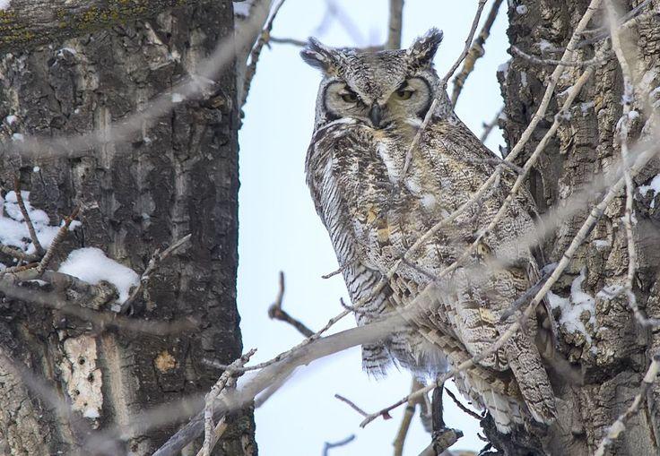 male Great Horned Owl Pentax K-5 + Sigma 150-500@500mm 1/640sec., ƒ/6.3, ISO 500