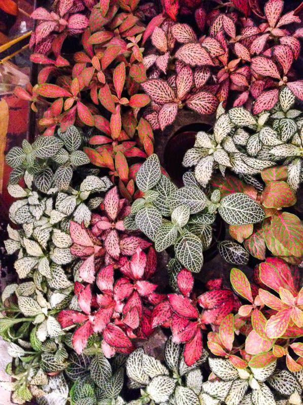 Fittonia de différentes couleurs, Atelier Green Factory, 17 rue Lucien Sampaix, 75010 Paris, www.greenfactory.fr