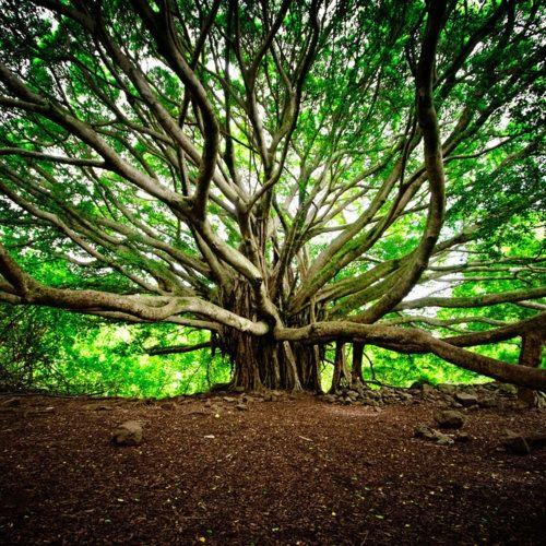 hawaiiBanyan Trees, Nature, Travel Photos, Trees Of Life, Beautiful, Families Photography, Travel Tips, Gardens Parties, Maui Hawaii